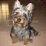 I am Minnie, An Australian Silky Terrier